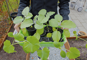 Growing eggplants