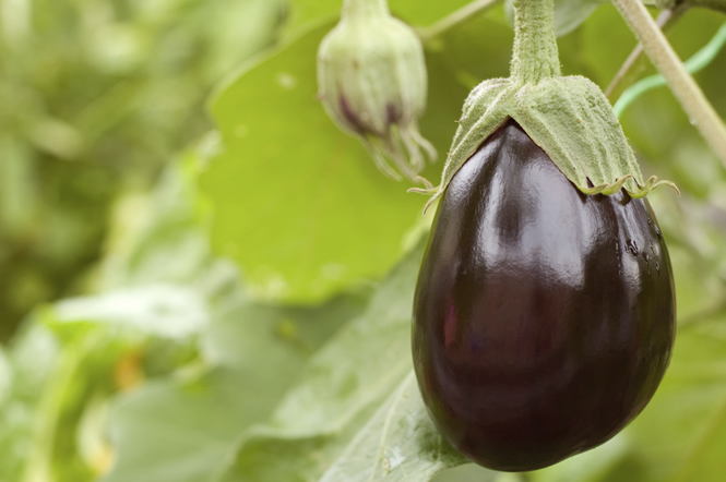 comment cultiver l aubergine. Black Bedroom Furniture Sets. Home Design Ideas