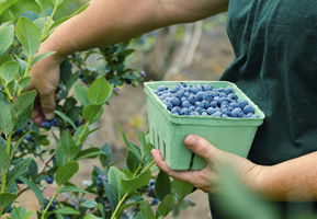 Harvesting blueberries