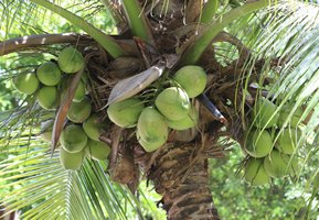 Varieties of Coconut