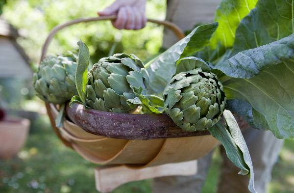 Harvesting your artichokes
