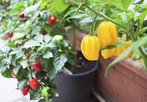 Comment cultiver le poivron - Cultiver aubergine en pot ...