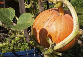 Growing pumpkins in pots