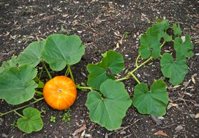 Our top pumpkin growing tips