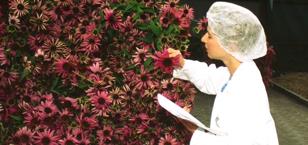 Quality check of the fresh harvested echinacea purpurea