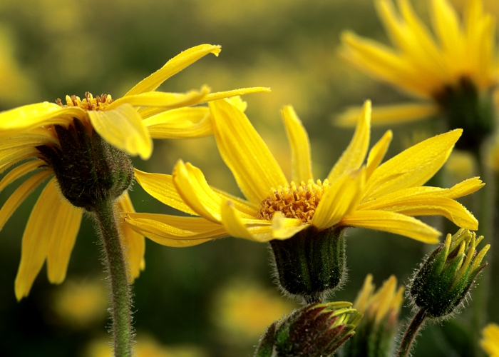 Science saved a star: The Arnica montana