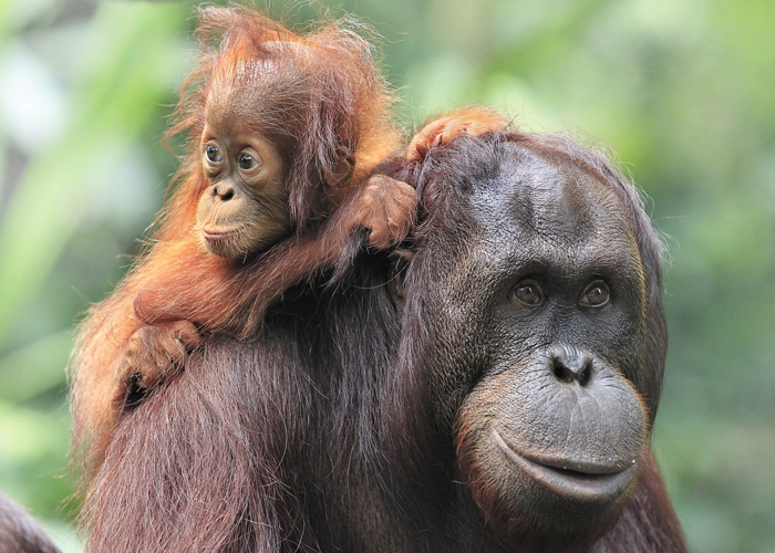 Palm oil vs. the orangutan: Let's act responsibly!